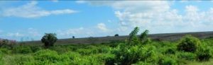 Kenya - Anbaufläche Ananas